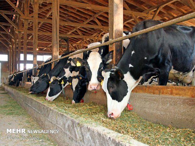 تاخیر در بارگیری نهاده های دامی/تعلل دولت در تعیین نرخ شیر خام